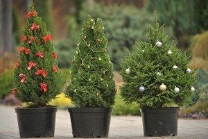 декоративные елки